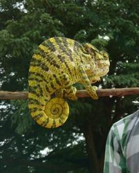 Chameleon a unique creature, beauty of the nature.