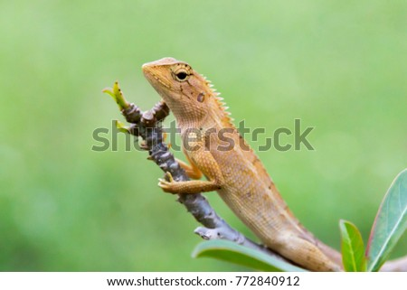 Chameleon brown perched on tree branches have a natural green background #772840912
