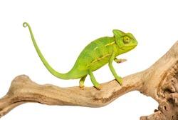 Chameleon, Chamaeleo chameleon, on branch in front of white background