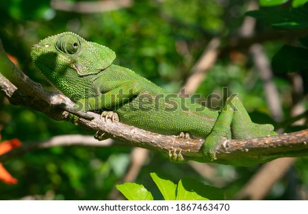 Chameleon climbing on a branch using camouflage for not to be seen in a tree in south Spain Stock photo ©