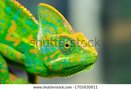 Photo of  Chameleon close up. Multicolor Beautiful Chameleon closeup reptile with colorful bright skin. The concept of disguise and bright skins. Exotic Tropical Pet