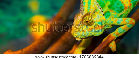 Chameleon close up. Multicolor Beautiful Chameleon closeup reptile with colorful bright skin. The concept of disguise and bright skins. Exotic Tropical Pet stock photo