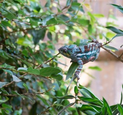 Chameleon crawls over a branch in the bush of South Africa