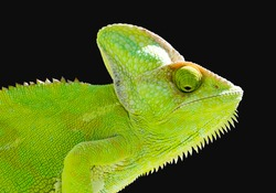 Chameleon from Yemen called Yemen chameleon or dragon or lizard on a isolated black background