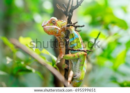 Chameleon Furcifer pardalis Ambilobe, panther chameleon jon a tree. #695599651