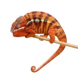 Chameleon Furcifer Pardalis - Sambava (2 years) in front of a white background