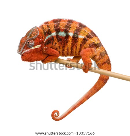 Chameleon Furcifer Pardalis - Sambava (2 years) in front of a white background