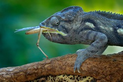 Chameleon hunting insect with long tongue. Exotic beautiful endemic green reptile with long tail from Madagascar. Wildlife scene from nature. Furcifer oustaleti eating behaviour, reptile with food.