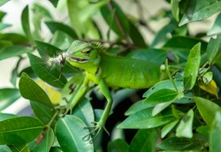 chameleon in green color in green background keeping a caterpillar in mouth ready to jump