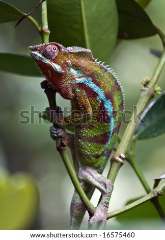 Stock Photo Chameleon in Maosala pavilion (Zurich Zoo)