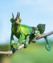 Chameleon in wild - Trioceros jacksonii xantholophus, Kikuyu three-horned, also called Jackson's horned chameleon