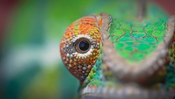 Chameleon is a type of lizard that belongs to the family of Chamaeleonidae, Some of the features of chameleons are known to be able to change their color or are called camouflage.