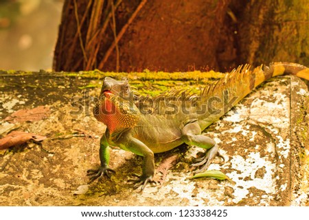 Chameleon is looking  on stone and tree background