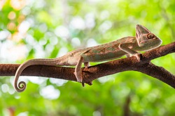 Chameleon lizard stand on wood in the garden with natural background. Macro animal photo.