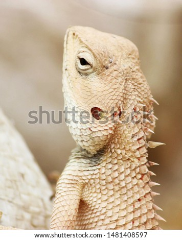 Chameleon lizrad natural pic animal
