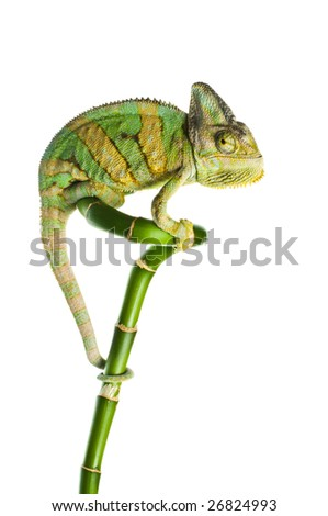 chameleon on a bamboo. isolation on white