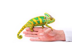 Chameleon on a man's hand isolated on a white background. Multicolor beautiful chameleon reptile with bright vibrant skin. The concept of camouflage and bright skin. Exotic tropical animal.