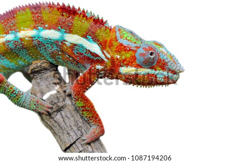 Chameleon on branch, reptile on branch, chameleon on white background