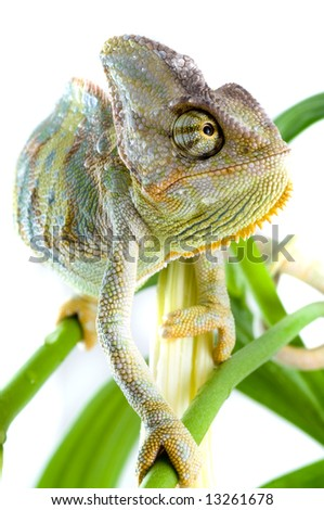 Chameleon on flower. Isolation on white - stock photo