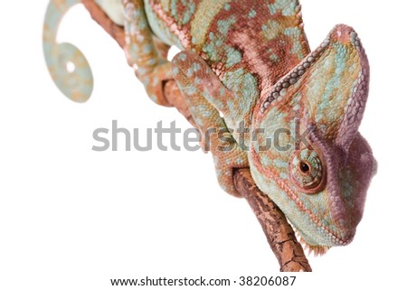 chameleon on withe background