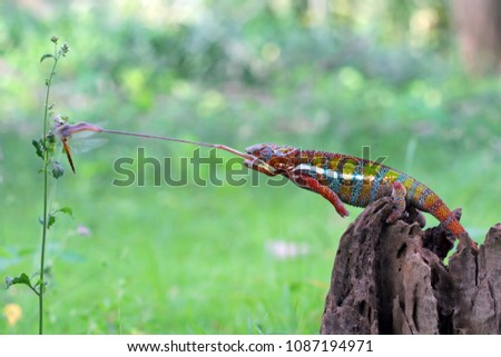 Chameleon, panther, chameleon catching insect, reptile