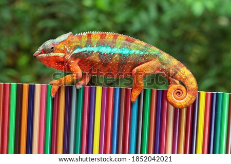 Chameleon panther tries to camouflage on colored pencils, Beautiful of chameleon panther, chameleon panther on colored pencils Stock photo ©