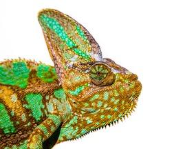 chameleon photo close-up isolated on the white