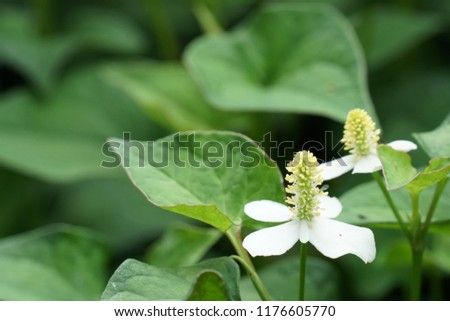 chameleon plant or Houttuynia cordata,fish leaf, fish mint, rainbow plant, heart leaf, fish wort, Chinese lizard tail, bishop's weed #1176605770