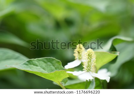 chameleon plant or Houttuynia cordata,fish leaf, fish mint, rainbow plant, heart leaf, fish wort, Chinese lizard tail, bishop's weed #1176696220