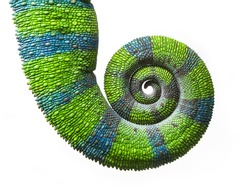 Chameleon Tail in Spiral, Furcifer pardalis in original colors on White Background