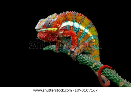 Chameleon with black backround, beautiful of chameleon, chameleon  branch, chameleon panther