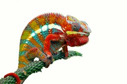 Chameleon with white backround, beautiful of chameleon, chameleon  branch, chameleon panther