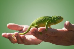 Chameleons are a family of lizards. Most can change the colour of their skins for camouflage.They are in extreme danger of extinction.