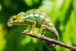 Chameleons are endemic in Madagascar.