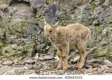 Chamois Baby Animal Photo