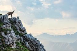 Chamois in the Italian alps
