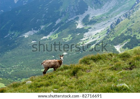 Chamois in the National park Low Tatras - Slovakia/Europe
