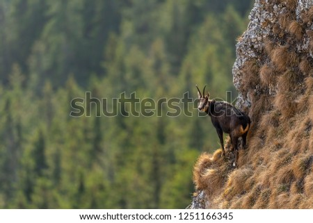 Chamois on the edge of a cliff with pines in background