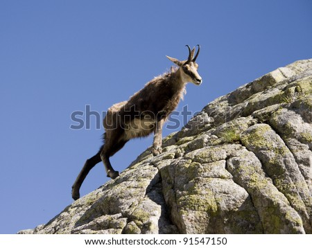 Chamois on the rock.