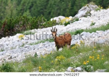 chamois (Rupicapra Carpatica) who goes on a mountain