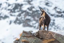 Chamois (Rupicapra rupicapra) in the Alps