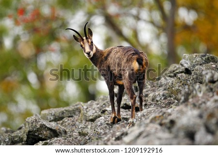 Chamois, Rupicapra rupicapra, on the rocky hill, forest in background, Studenec hill, Czech Republic. Wildlife scene with horn animal, Chamois. Forest landscape with chamois.