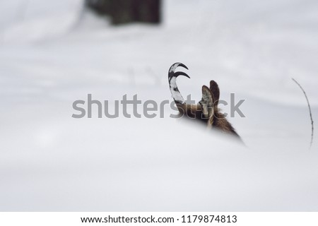 chamois Rupicapra rupicapra on the snow. Gran Paradiso National Park