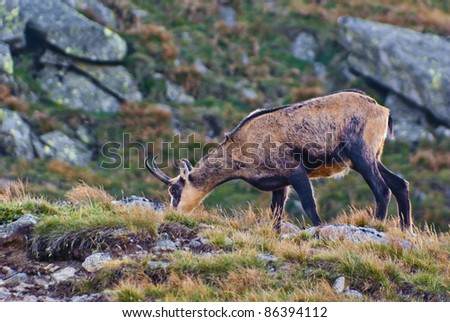 Chamois (Rupicapra rupicapra) standing on top of the steep slope