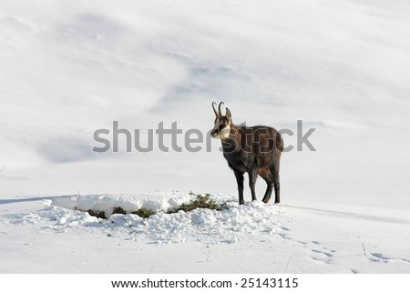 Chamois standing in the snow looking for food