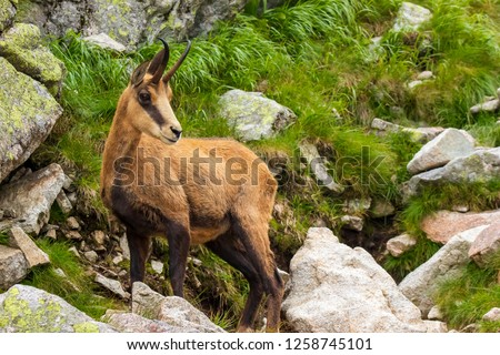 Chamois watching and standing