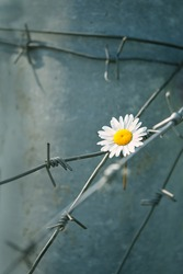 chamomile and barbed wire. war, prison, captivity, salvation, peace and hope concept. ecological problems. daisy flower behind iron wire. nature conceptual image