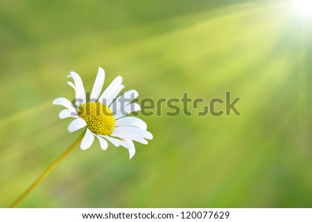 Chamomile and sun on the field with green grass