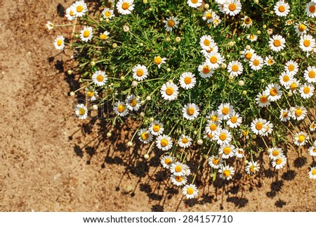 chamomile blossoms pharmacy summer