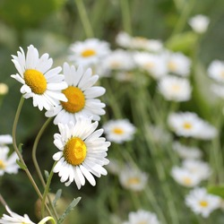 chamomile close-up in the meadow. summer wildflowers